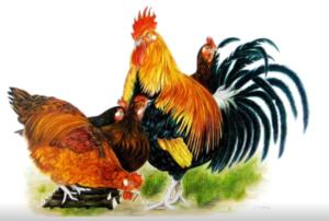 jeanne de chantal nyckees aquarelliste animalier belge peinture poules et coq